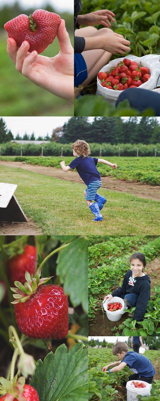 strawberry picking bjornstad  farms