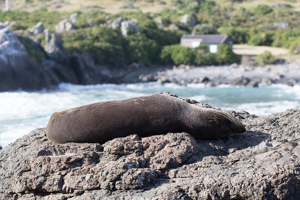 Cape Palliser in Wairarapa, New Zealand is a fabulous spot for seal watching.