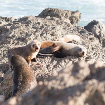 Seal Watching at Cape Palliser {Wairarapa New Zealand}