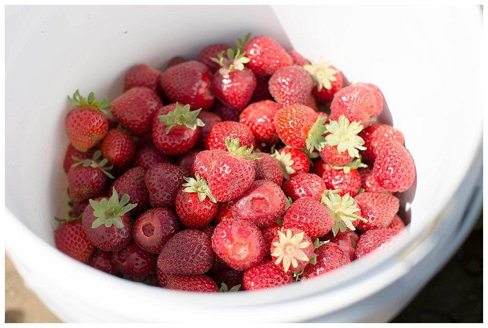 U-Pick strawberries for making jam.